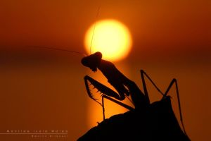 Mantis by Mantide