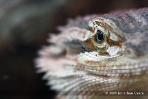 Beardie close up by InsaneGelfling