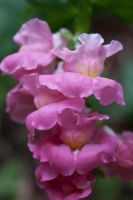 Pink Snapdragon by CNStock