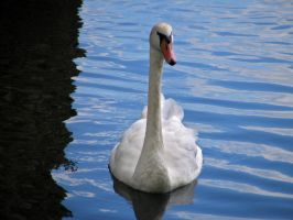 swan 05 by Pagan-Stock