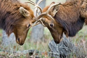 Roosevelt Elk Sparring by kmwatts