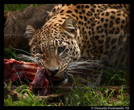 Persian Leopard: Meal Time II by TVD-Photography
