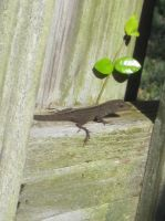 Brown Anole 26 by AxelHonoo
