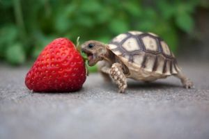 Baby-turtle-eats-strawberry by inu-mac