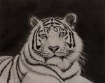 White Tiger Pencil Drawing by AlpoArts