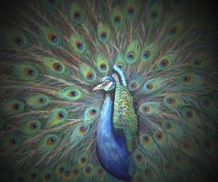 Peacock by JoanneBarby
