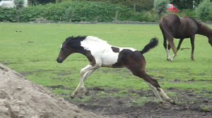 Fay - Running Seal Brown Tobiano Filly by Horselover60-Stock