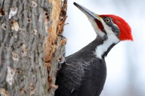 Pileated Woodpecker by GuillaumGibault