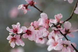 Wild Plum Tree Blooms by Rjet33