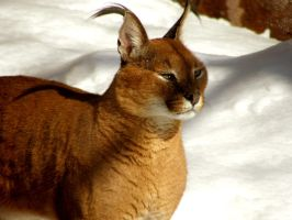 Caracal by Fictionary