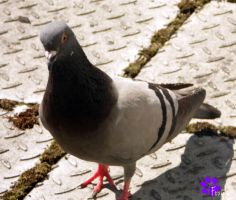 Feral Pigeon 007 (05.06.13) by LacedShadowDiamond