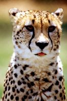 Cheetah 18 by Art-Photo