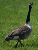 Geese 3 by Noble-Kenshi
