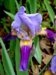 Striped Iris by 1389AD