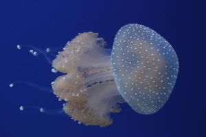 Jelly Fish by Butterfly-Dream-Away