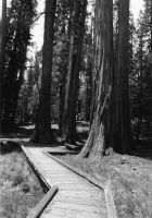 sequoia by bootstrap-beth