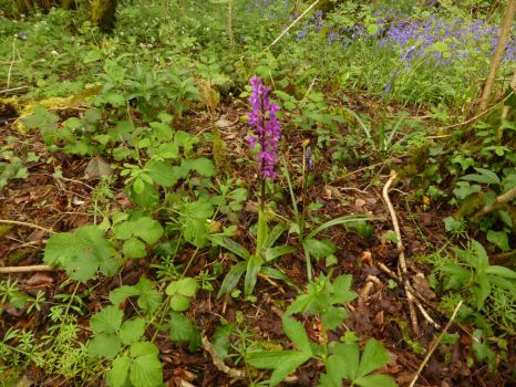 Early Purple Orchid 2017 by Torre7
