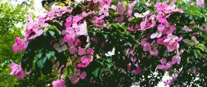 The Heathfield Dogwood Summer Time Pinks by aegiandyad