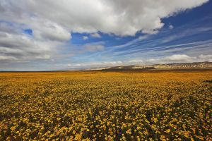Sea of Flowers_Carrizo Plains by ernieleo