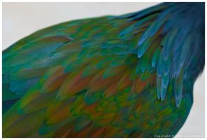 Nicobar Pigeon - Back Feathers by nearthepark