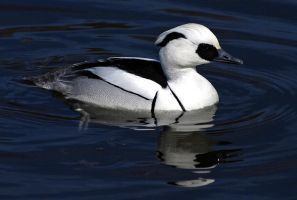 Smew.. by quaddie