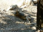 Patagonian Cavy by Lcutter