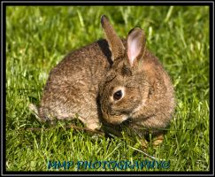 Wild Rabbit by 001mark
