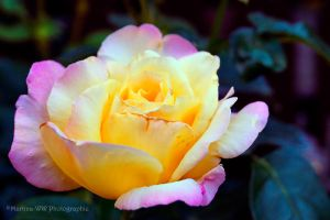 Rose 2013 4 by Martina-WW