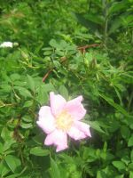 wild rose 01 by CotyStock