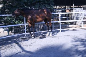 bay horse stock 28 by xbr0kendevotion