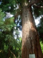 old redwood tree 2 by ingeline-art