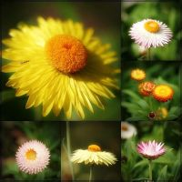 Everlasting Or Paper Daisy by Firey-Sunset