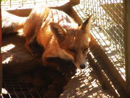 Red Fox 16 by FoxRAGE-Stock