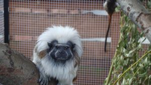 Cotton-top tamarin by softlady