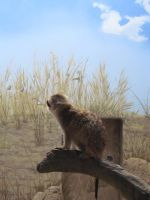 "Meerkat Against the Blue ""Sky"" by SubRosa-undertherose"