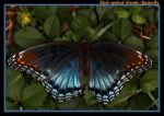 Red-spotted Purple Butterfly by boron