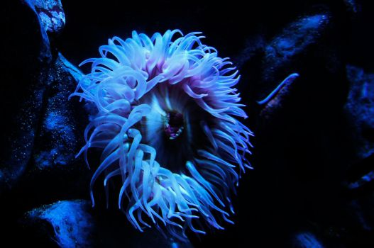Sea Anemone by AndySerrano