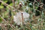 Macro of a Giant Dandelion by vincent-is-mine