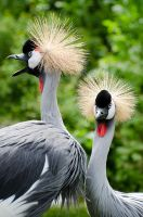 African Crowned Crane Pair by Norjet806