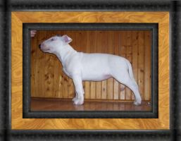 Bull Terrier Puppy by GevaudanJo
