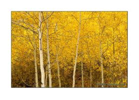 Golden Aspen by anonymous66