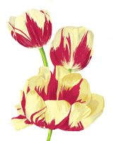 Tulips - 1 by speckle