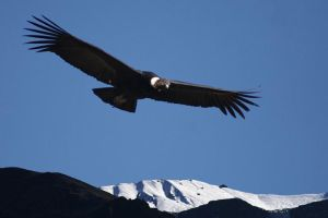 Andean Condor over Colca Canyon by amlopes1700