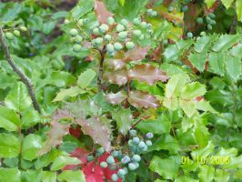 Holly berries comming by rubies52