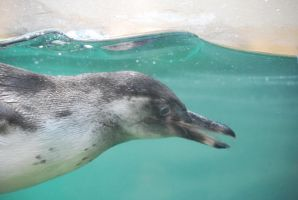 humboldt penguin 2.22 - swim by meihua-stock
