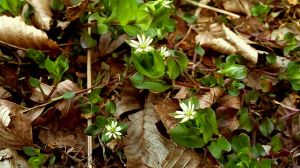 star chickweed by ErvinOgrasevic