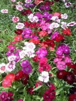 Dianthus by DoctorTonyStarkWho