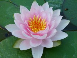 pink water lilly in september by sedaFB