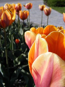 Tulipes in afternoon by Redcorp
