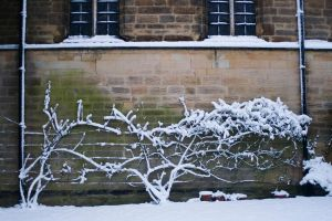 Rose Bushes cover'd snow by HMSpeedFreek